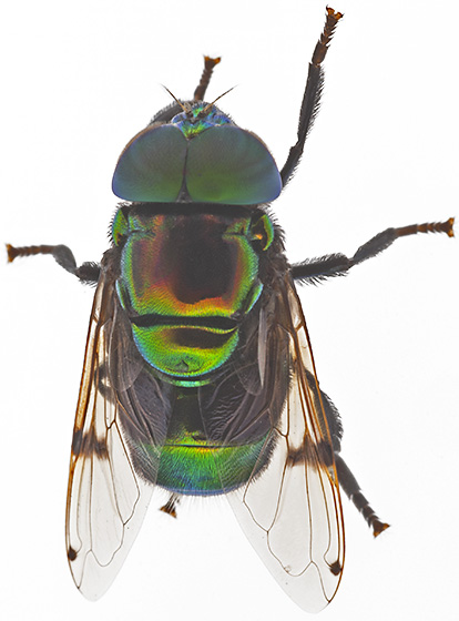 Fly - Ornidia obesa - male