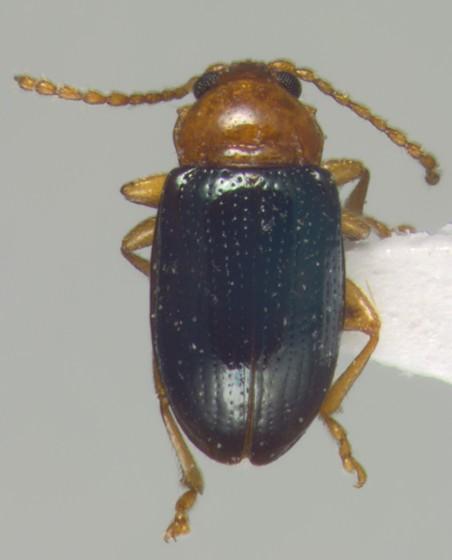 Chrysomelidae, dorsal - Derocrepis erythropus