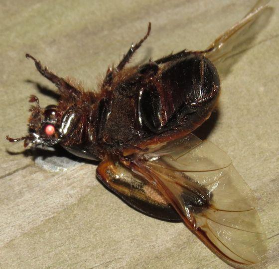 Coleoptera - Xyloryctes jamaicensis