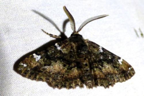 3/24/18 moth - Phaeoura quernaria
