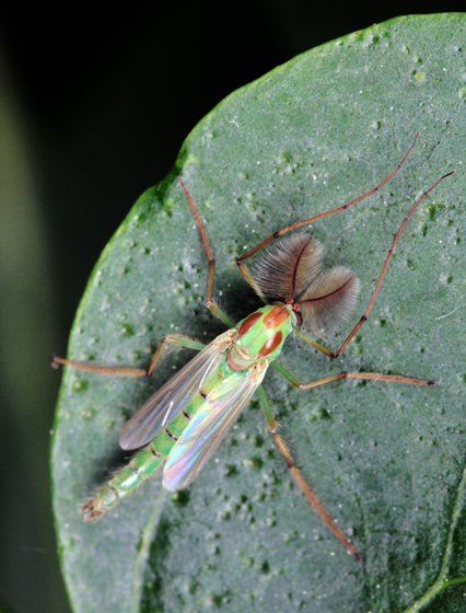 Axarus sp. - Axarus - male