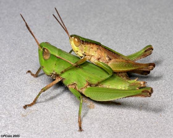 Short Winged Green Grhopper Dichromorpha Viridis Male Female