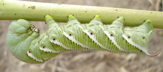 Hornworm ? - Manduca sexta