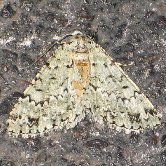 Green Carphoides - Carphoides setigera