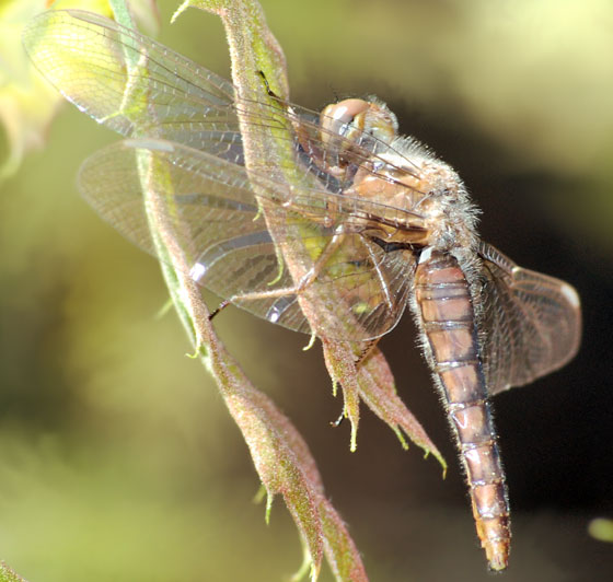 April Dragon 1 - Ladona deplanata - female