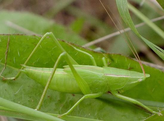 conehead - Neoconocephalus ensiger - male