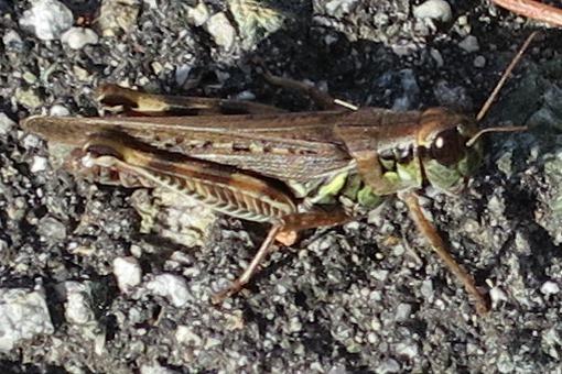 Unknown Acrididae 1 - Melanoplus