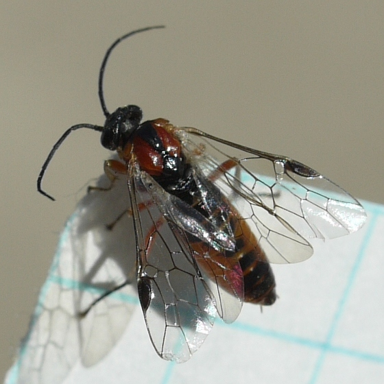 sawfly - Hemichroa militaris
