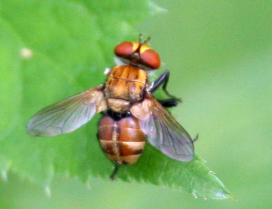 Fly [Gymnoclytia?] ID Request - Gymnoclytia