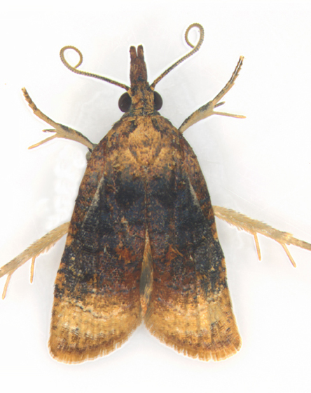 Tortricidae, Black-shaded Platynota Moth - Platynota flavedana