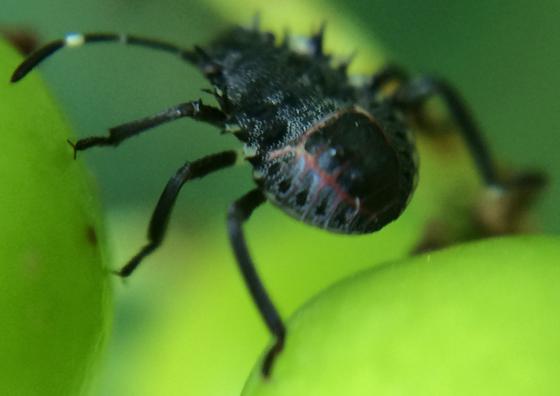 Stink bug nymph? - Halyomorpha halys
