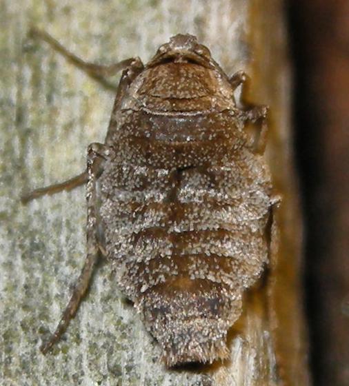 fall cankerworm moth - Alsophila pometaria - female