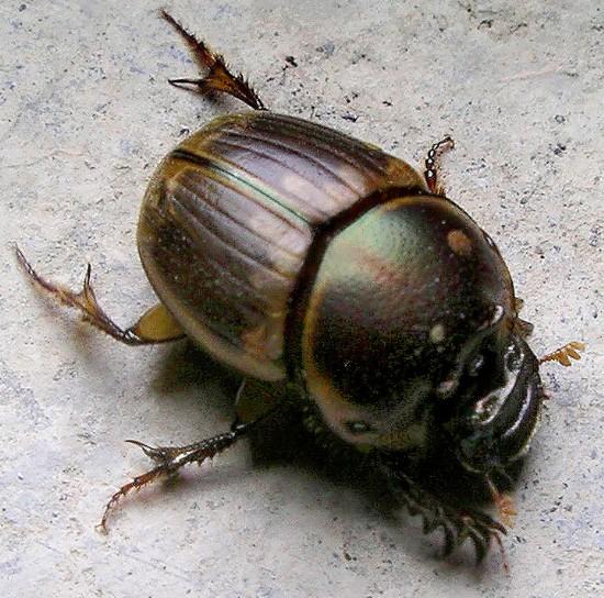 scarab - Digitonthophagus gazella