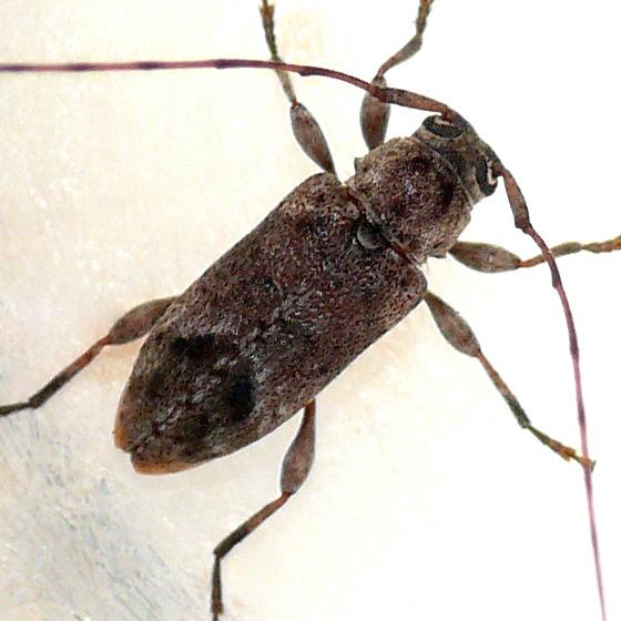 Longhorned beetle 2 - Sternidius misellus