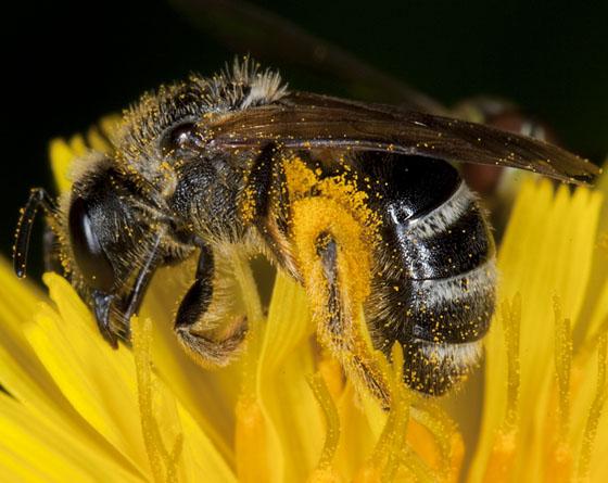 Bee IMG_2374 - Lasioglossum leucozonium