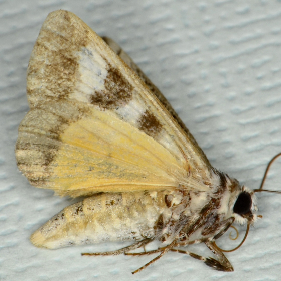 Neotuerta hemicycla - female