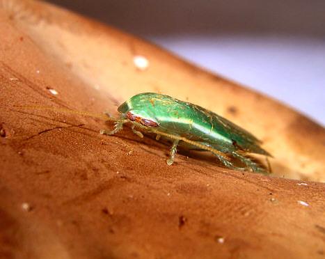 Green Banana Cockroach (Panchlora nivea) - Panchlora nivea