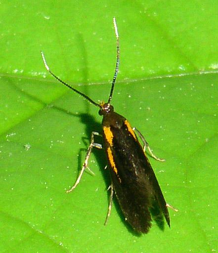 Moth - Mathildana newmanella