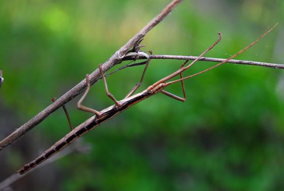 stick bug - Anisomorpha buprestoides