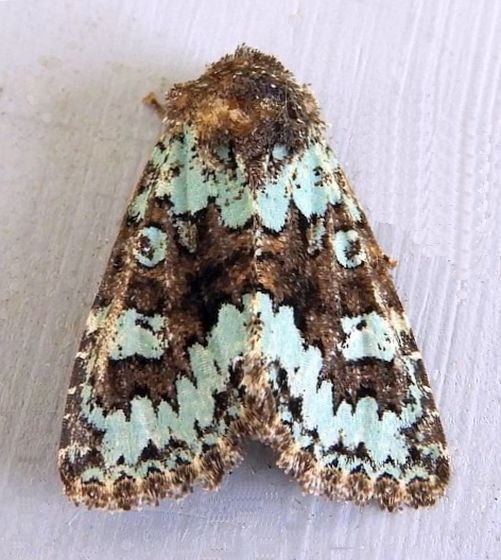 Arizona Moth - Paramiana perissa