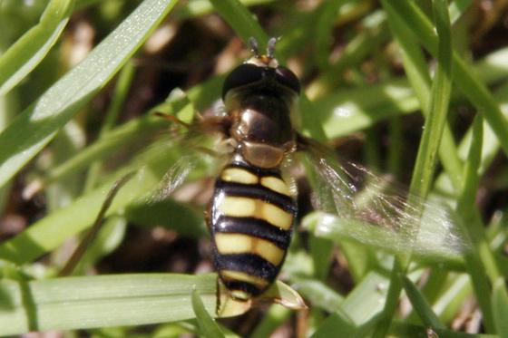 Syrphidae? - Eupeodes