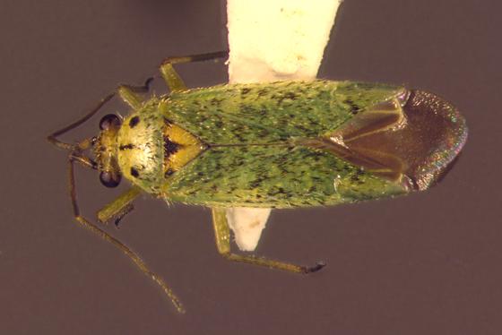 Miridae - Ilnacora