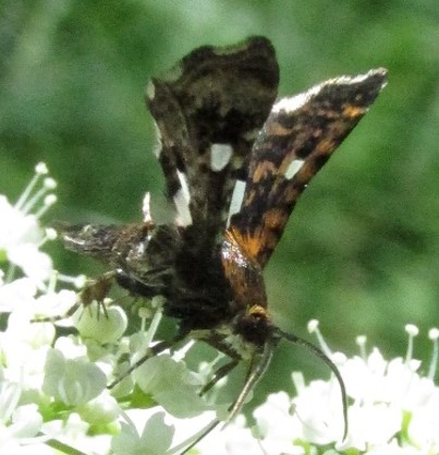 moth 3 - Thyris maculata
