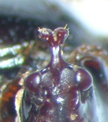 Phyllophaga hirticula - female