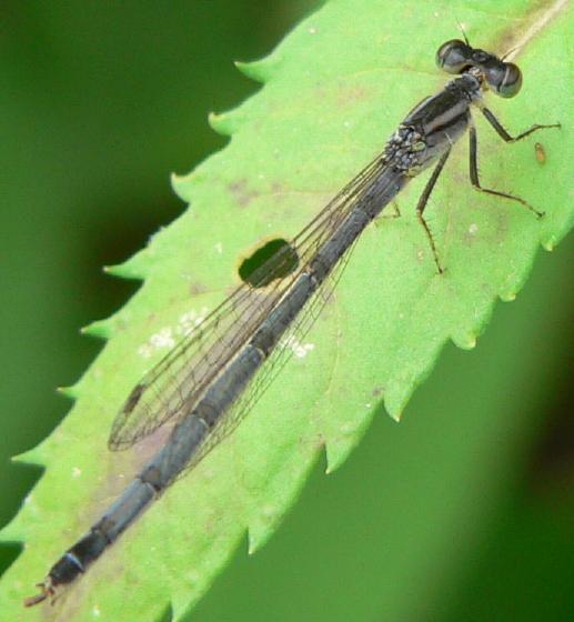 Eastern Forktail (Ischnura verticalis) - Ischnura - female