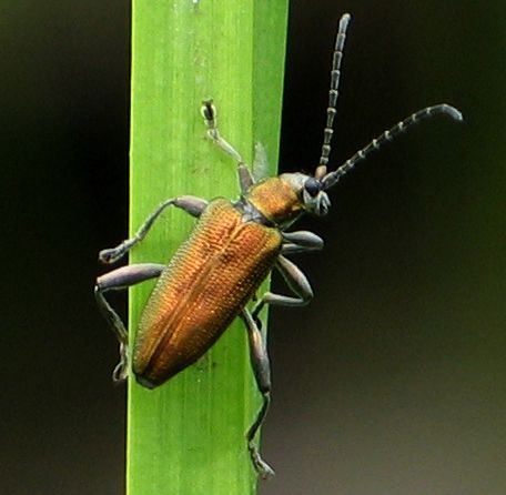 aquatic leaf beetle - Donacia