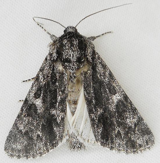 Moth - Acronicta perdita