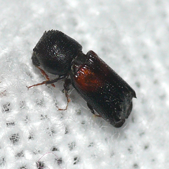 Red horned beetles - photo#18