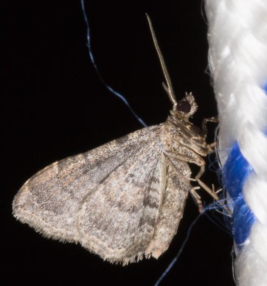 Bioblitz Moth #48 - Orthonama obstipata