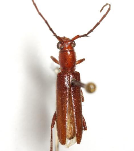 Psyrassa brevicornis Linsley - Psyrassa brevicornis