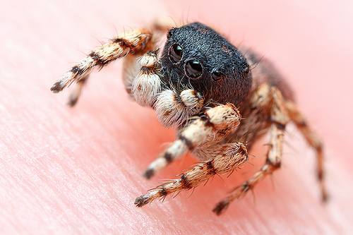 Male Jumping Spider - Habronattus ustulatus - male