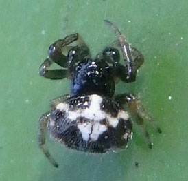 small spider - Gasteracantha cancriformis - male