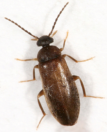 small brown beetle - Canifa pallipes