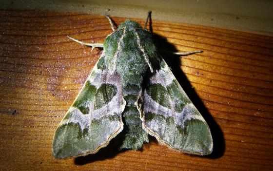 Pacific Green Sphinx Moth - Proserpinus lucidus