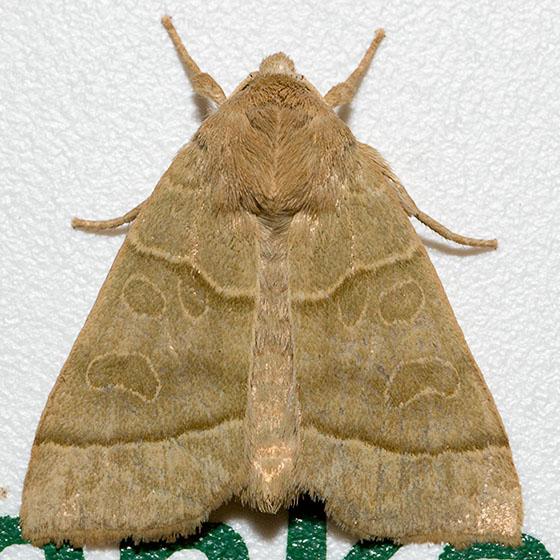 Ipimorpha nanaimo