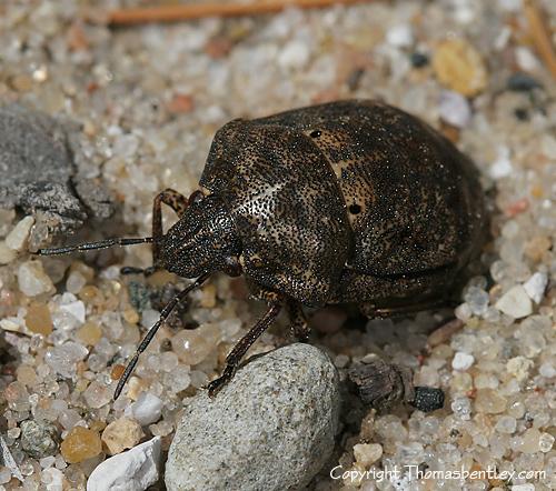 Shield Bug - Tetyra bipunctata