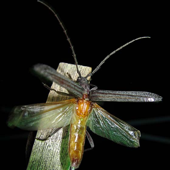 Long Long-horned Beetle - Aneflus levettei