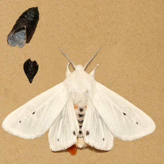 Virginian Tiger Moth with empty cocoon - Spilosoma virginica