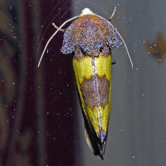 Yellow Sunflower Moth - Hodges#9785 - Stiria rugifrons
