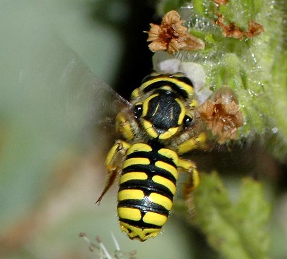 Anthidium illustre - female