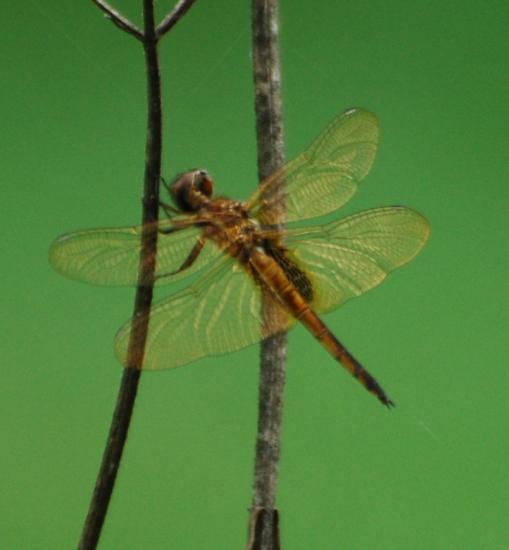 Skimmer/Glider? - Miathyria marcella