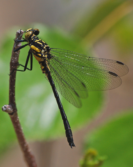 Northern Pygmy Clubtail in New Brunswick - Lanthus parvulus - male