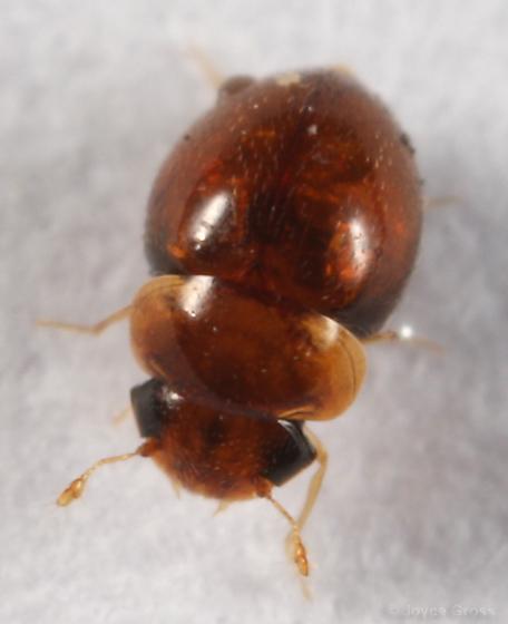 tiny beetle - Clambus