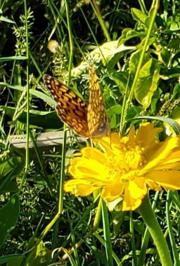 Possible Hydaspe fritillary butterfly? - Speyeria