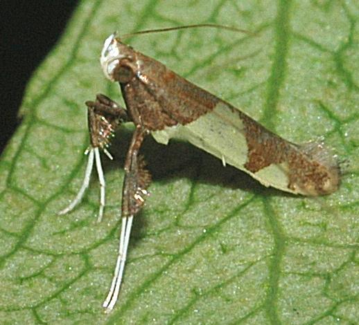 Strange Insect - Caloptilia bimaculatella