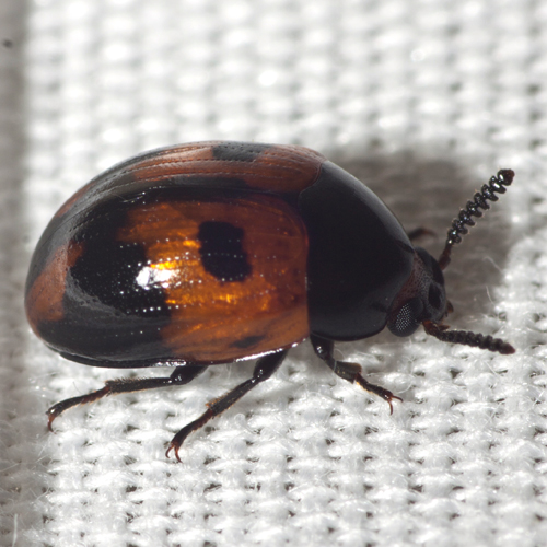 Darkling Beetle - Diaperis maculata